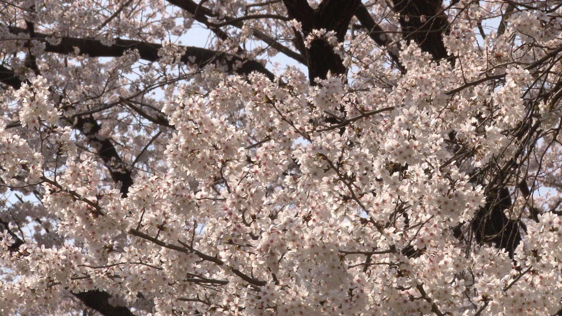 桜を撮影したもの